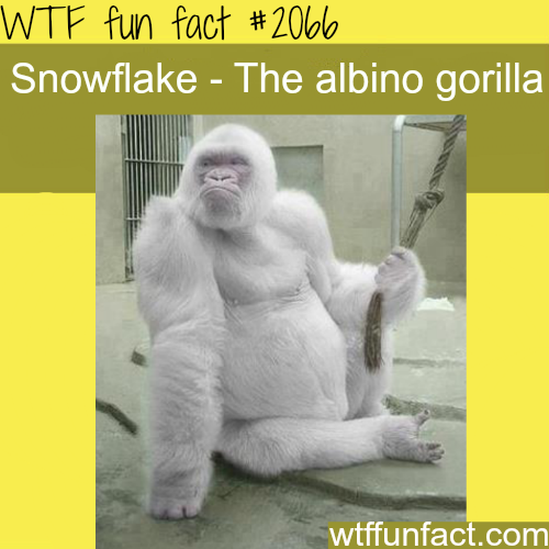 Snowflake the albino gorilla -WTF fun facts
