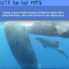 sperm whales adopt a deformed dolphin wtf fun