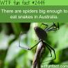 spiders eat snakes in australia