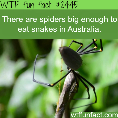 Spiders eat snakes in Australia - WTF fun facts