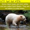 spirit bears wtf fun fact