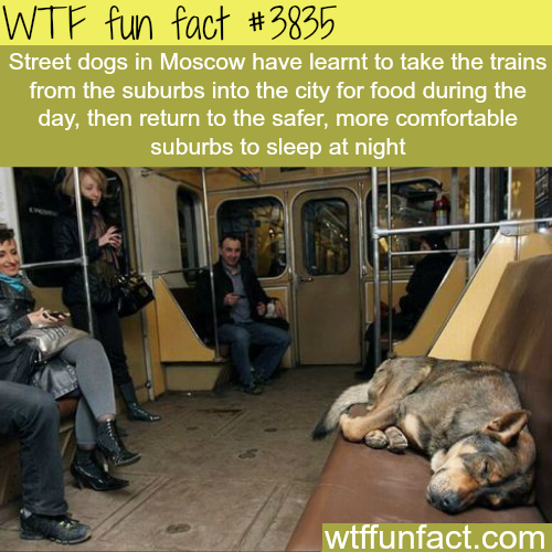 Street dogs in Moscow know how to take the train - WTF fun facts