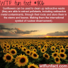 sunflowers can clean radioactive waste