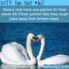 swans animal facts