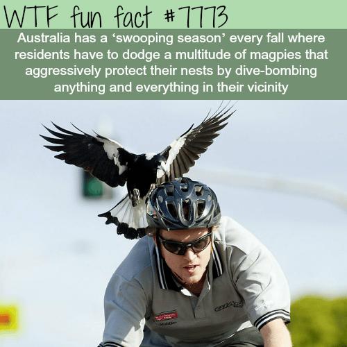 Swooping season in Australia - WTF fun fact