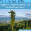 tallest tree in the world wtf fun facts