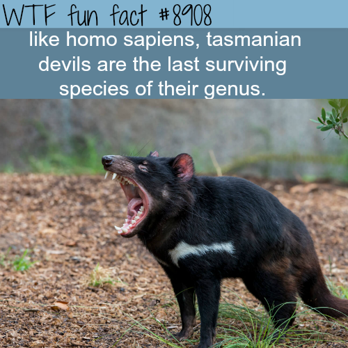 Tasmanian Devils - WTF fun facts