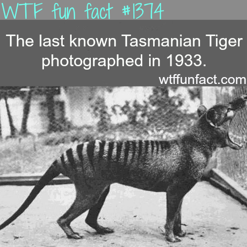Tasmanian tiger pictures - animals fact