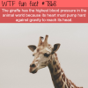 the animal with highest blood pressure wtf fun