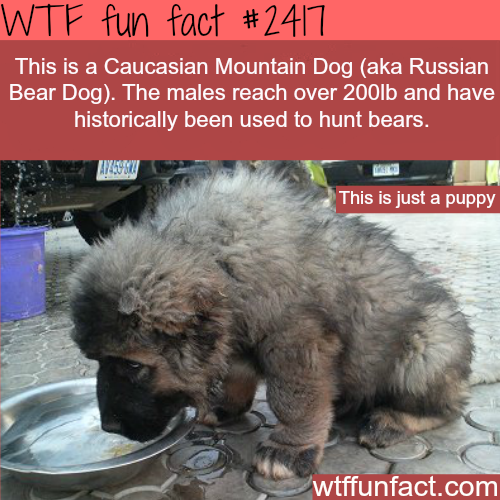 The Caucasian Mountain Dog puppy -WTF funfacts