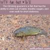 the climbing gourami fish wtf fun facts