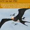 the frigate bird wtf fun fact