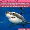 the great white sharks facts