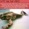 the hairy frog wtf fun fact