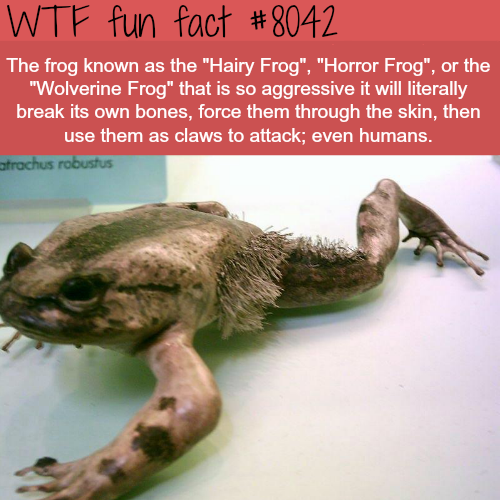 The Hairy Frog - WTF fun fact