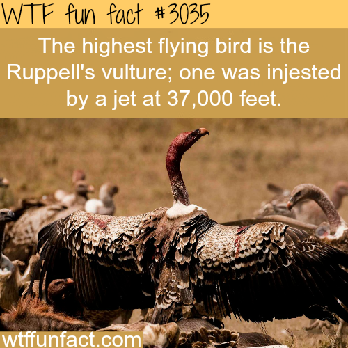 The highest flying bird in the world -WTF fun facts