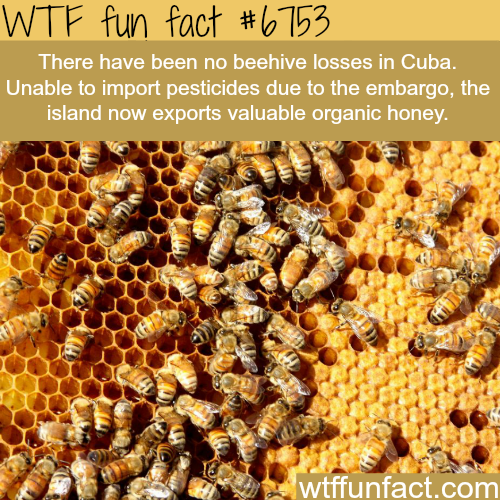 The honey population in Cuba is on the rise  - WTF fun fact