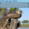the honeyguide bird