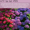 the hydrangea flower wtf fun fact