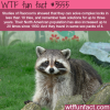 the intelligence of the raccoons wtf fun facts