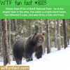 the largest bear in banff national park wtf fun
