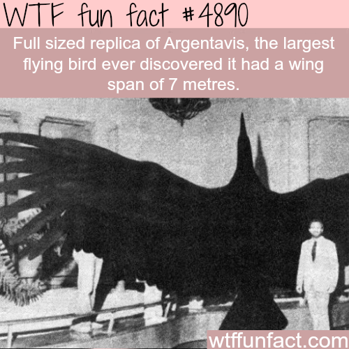 The largest flying bird -
