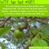 the manchineel tree wtf fun facts