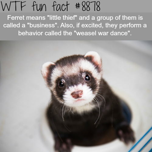 The meaning of Ferret - WTF fun facts