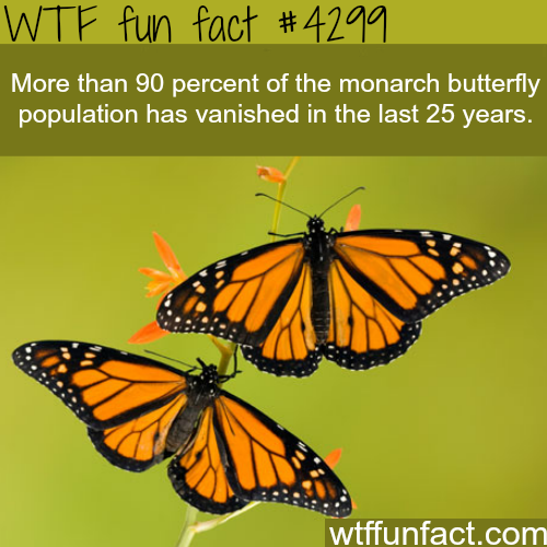 The monarch butterfly -  WTF fun facts