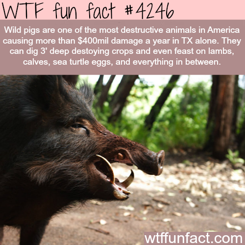 The most destructive animals in America -  WTF fun facts