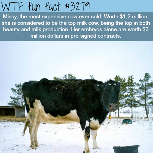 The most expensive cow in the world -WTF fun facts