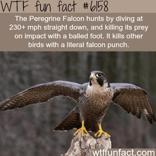 The Peregrine Falcon - WTF fun facts