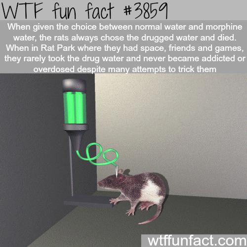 The Rat Park experiment - WTF fun facts