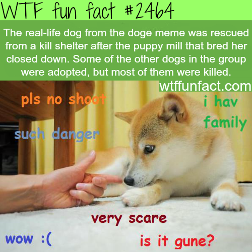 The real-life dog from the doge meme - WTF fun facts