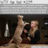 the savannah cat