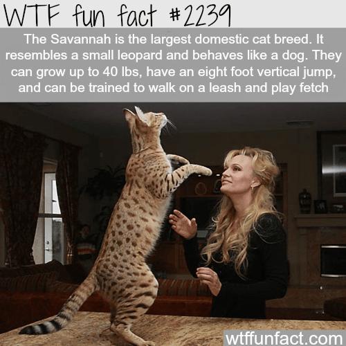 The savannah cat -WTF fun facts
