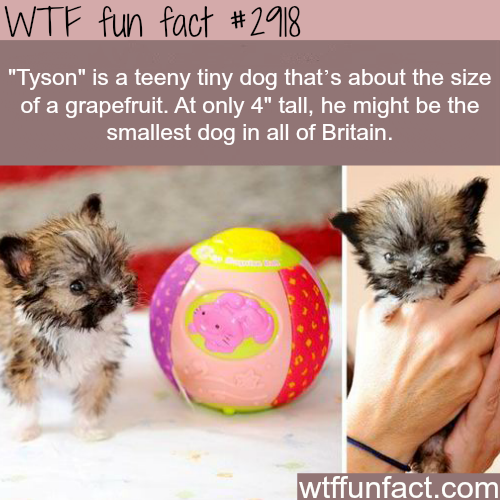 The smallest dog in Britain -  WTF fun facts