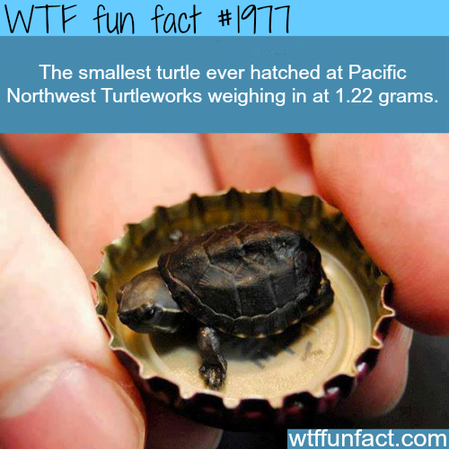 The Smallest Turtle ever hatched - WTF fun facts