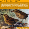 the stephens island wren wtf fun facts