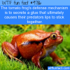 the tomato frogs defense mechanism is to secrete