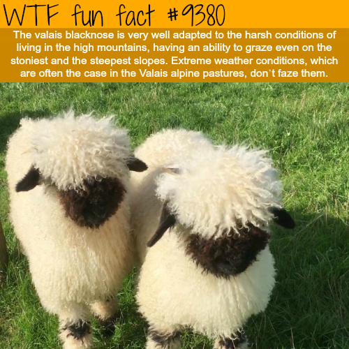 The Valais Blacknose Sheep - WTF fun facts