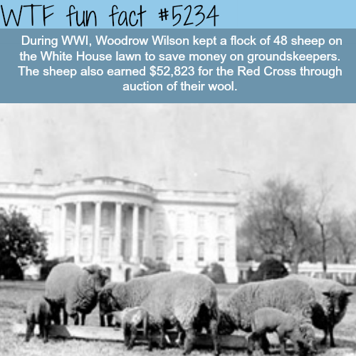 The White House used sheep to save money on groundskeepers - WTF fun facts