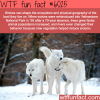the wolves rule in the ecosystem wtf fun facts