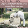 the worlds first white ligers