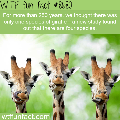 There are 4 species of giraffes - WTF fun facts