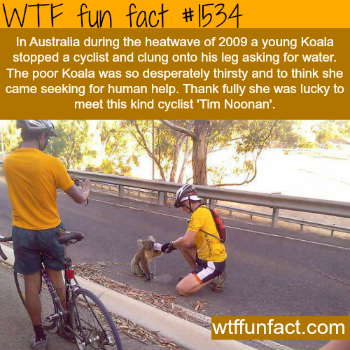thirsty Koala stops an Australian cyclist.  wtf fun facts