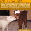 this miniature cow is best friends with rescue