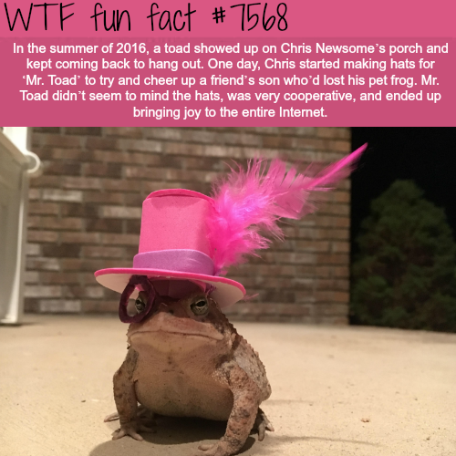 This toad visits a man every night and he wears new hat every time - WTF fun facts