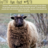 thomas jeffersons shetland sheep wtf fun fact