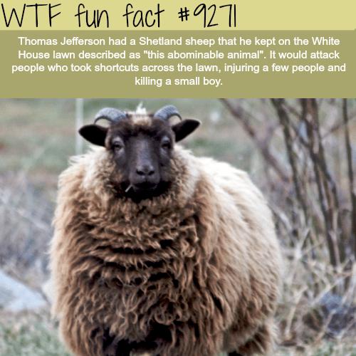 Thomas Jefferson's Shetland Sheep - WTF fun fact